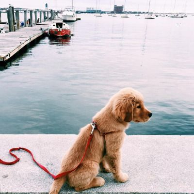 Golden Puppy | Covet Living