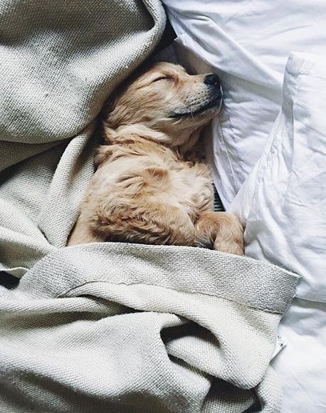 sleeping muffin golden retriever | covet living